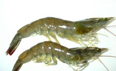 四川省乐山市市中区南美白对虾 人工殖养 2钱以下