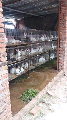 这是一张关于肉兔 5斤以上的产品图片