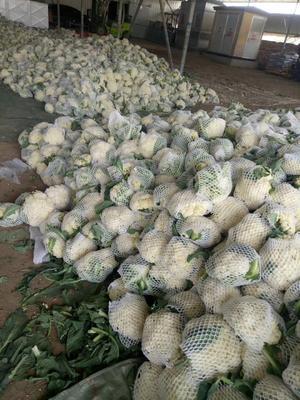 山东省潍坊市高密市白面青梗松花菜 适中 2~3斤 乳白色