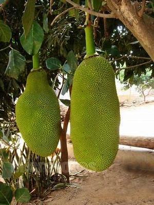 广东省茂名市高州市海南菠萝蜜 15斤以上