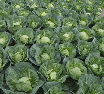 山西省忻州市忻府区卷心包菜 2.5~3.0斤