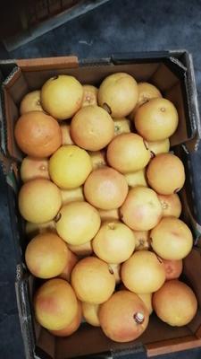 江苏省苏州市吴中区南非西柚 1斤以下