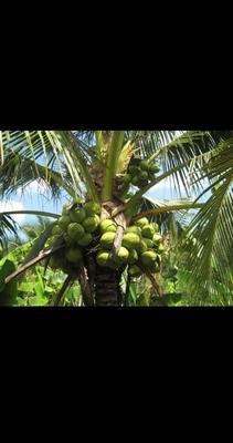 广东省广州市白云区泰国香水椰 3 - 4斤