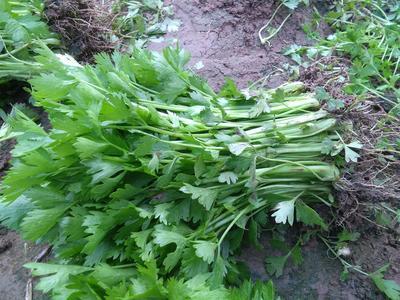山东省滨州市惠民县西芹 40cm以下 大棚种植 0.5斤以下