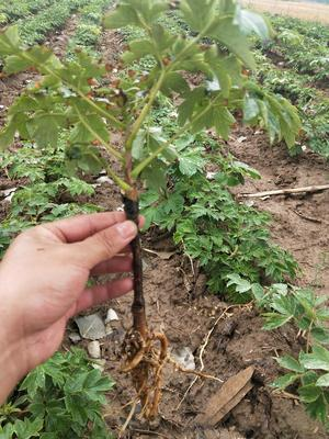 山东省菏泽市牡丹区观赏牡丹 2~4cm 4cm以下 0.5米以下