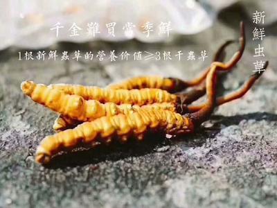 云南省丽江市古城区冬虫夏草
