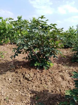 山东省菏泽市牡丹区牡丹树 2cm以下 4cm以下 1~1.5米