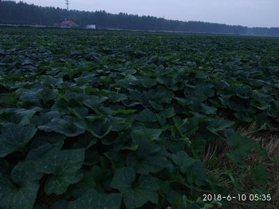 湖北省荆州市荆州区蜜本南瓜 6~10斤 长条形
