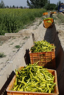 宁夏回族自治区银川市西夏区黄花菜 散装 一级