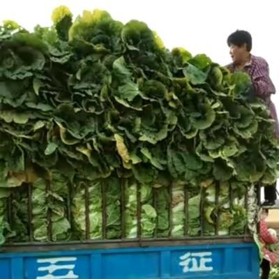 河北省保定市定州市韩国黄心白菜 3~6斤 毛菜