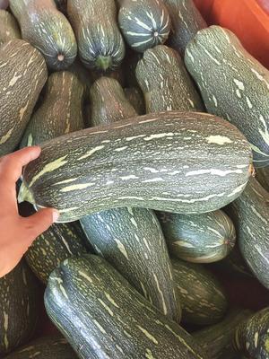 河南省南阳市新野县蜜本南瓜 6~10斤 长条形