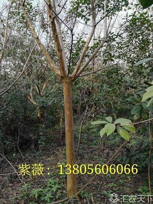 安徽省合肥市肥西县紫薇树