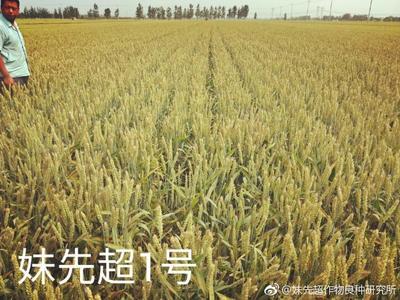山东省聊城市莘县小麦种子