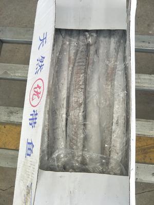 山东省日照市岚山区东海带鱼 野生 0.5公斤以下