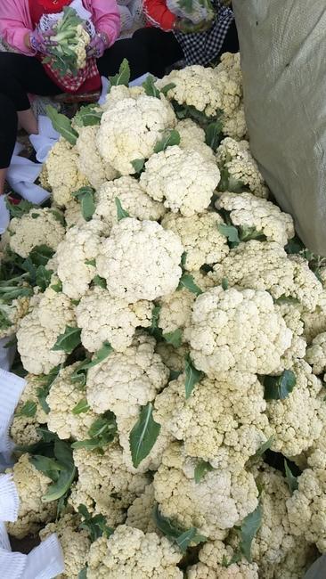 白面青梗松花菜 适中 1~2斤 乳白色