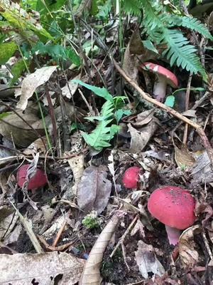 云南省西双版纳傣族自治州勐腊县大红菌 1.0% 一级