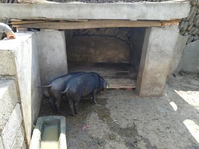 陕西省西安市雁塔区猪肉类 生肉