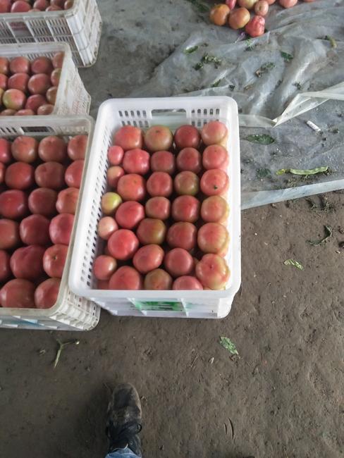 大红西红柿 不打冷 大红 通货