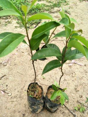 广东省广州市荔湾区白银树