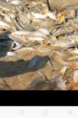 江西省吉安市吉安县河鲤鱼 人工养殖 0.5-3龙8国际官网官方网站