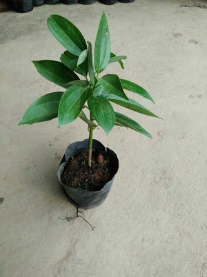 云南省昆明市呈贡区平安树盆栽