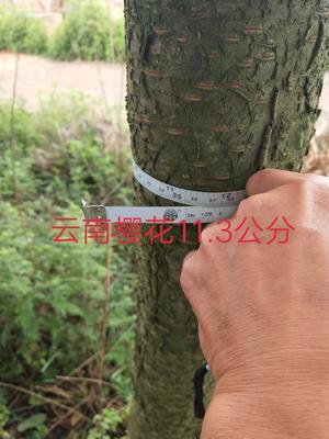 云南省昆明市宜良县云南樱花 8~10公分 3.5米~5米