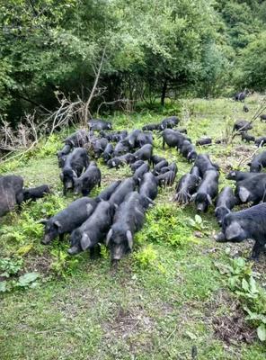 四川省阿坝藏族羌族自治州茂县香猪肉 生肉
