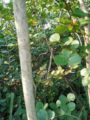 广东省广州市天河区紫薇树