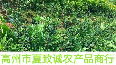 广东省茂名市高州市油茶苗