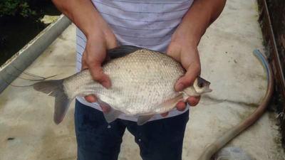 广东省广州市花都区武昌鱼 人工养殖 0.5公斤以下