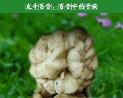 广西壮族自治区贺州市富川瑶族自治县龙牙 双头