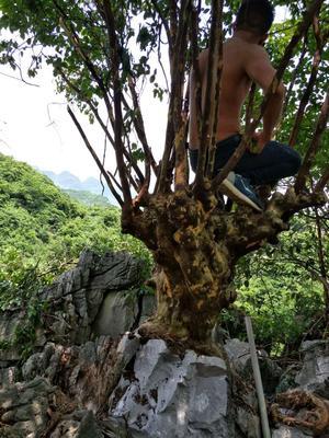 广西壮族自治区来宾市兴宾区紫薇老树桩
