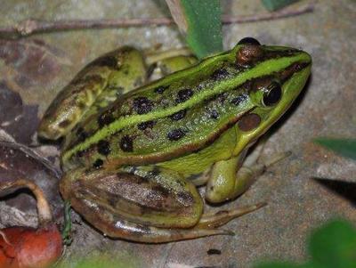 贵州省黔东南苗族侗族自治州黄平县青蛙