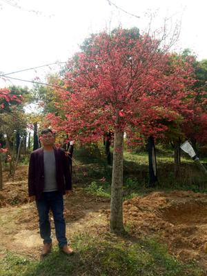 广西壮族自治区桂林市兴安县日本红枫/日本红丝带