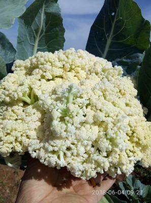河南省三门峡市湖滨区有机松花菜 松散 2~3斤 乳白色