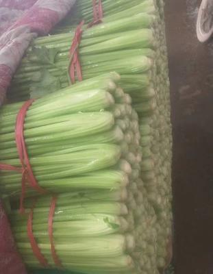 陕西省榆林市靖边县西芹 55~60cm 露天种植 0.5~1.0斤