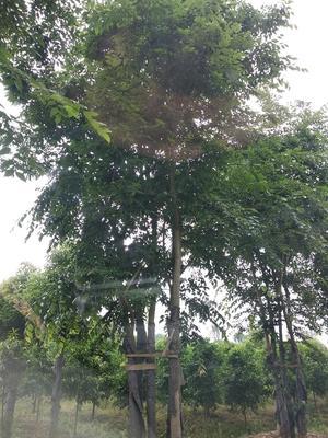 湖南省益阳市资阳区丛生朴树