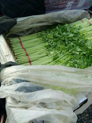 山东省聊城市阳谷县香芹 55~60cm 大棚种植 0.5斤以下