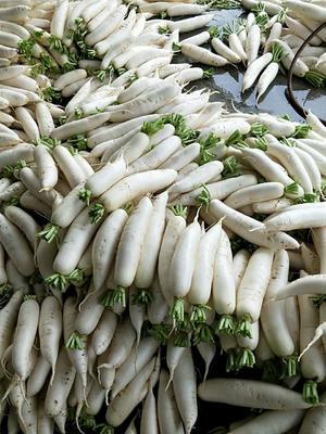 贵州省遵义市凤冈县白萝卜 1.5~2斤
