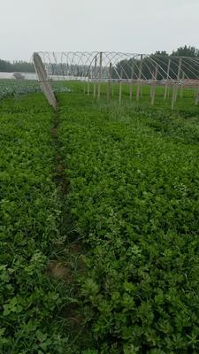 山东省潍坊市寿光市皇妃芹菜 55~60cm 露天种植 0.5斤以下