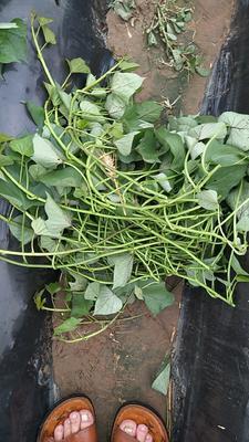 山东省德州市夏津县济薯26号红薯苗 25~35cm