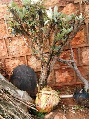 云南省红河哈尼族彝族自治州开远市马银花 1.5~2.0米