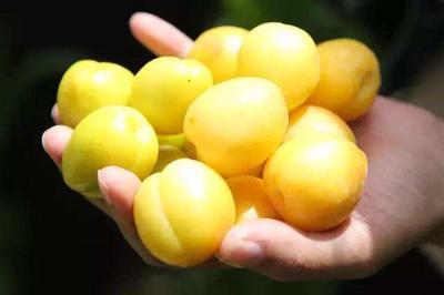 这是一张关于小白杏 30-40mm 的产品图片