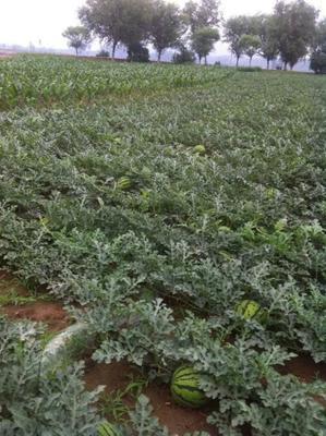 陕西省榆林市定边县沙漠西瓜 有籽 1茬 8成熟 8斤打底