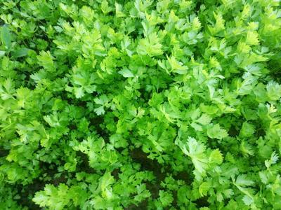山东省济南市商河县加州王芹菜 40cm以下 露天种植 0.5斤以下
