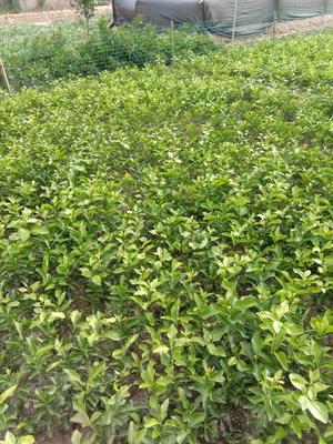 四川省资阳市简阳市无核沃柑苗 杯苗袋苗 0.2~0.35米