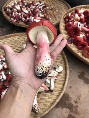 云南省西双版纳傣族自治州景洪市大红菌 1.0% 特级