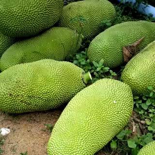 海南省万宁市万宁市海南菠萝蜜 15斤以上
