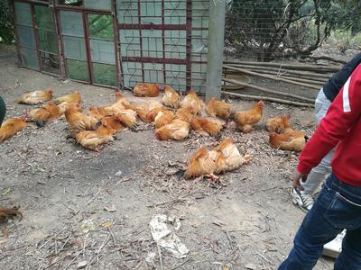 广东省茂名市电白区三黄鸡 公 5-6斤