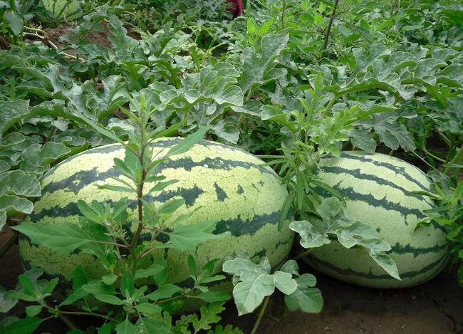 西农8号西瓜 有籽 1茬 8成熟 8斤打底